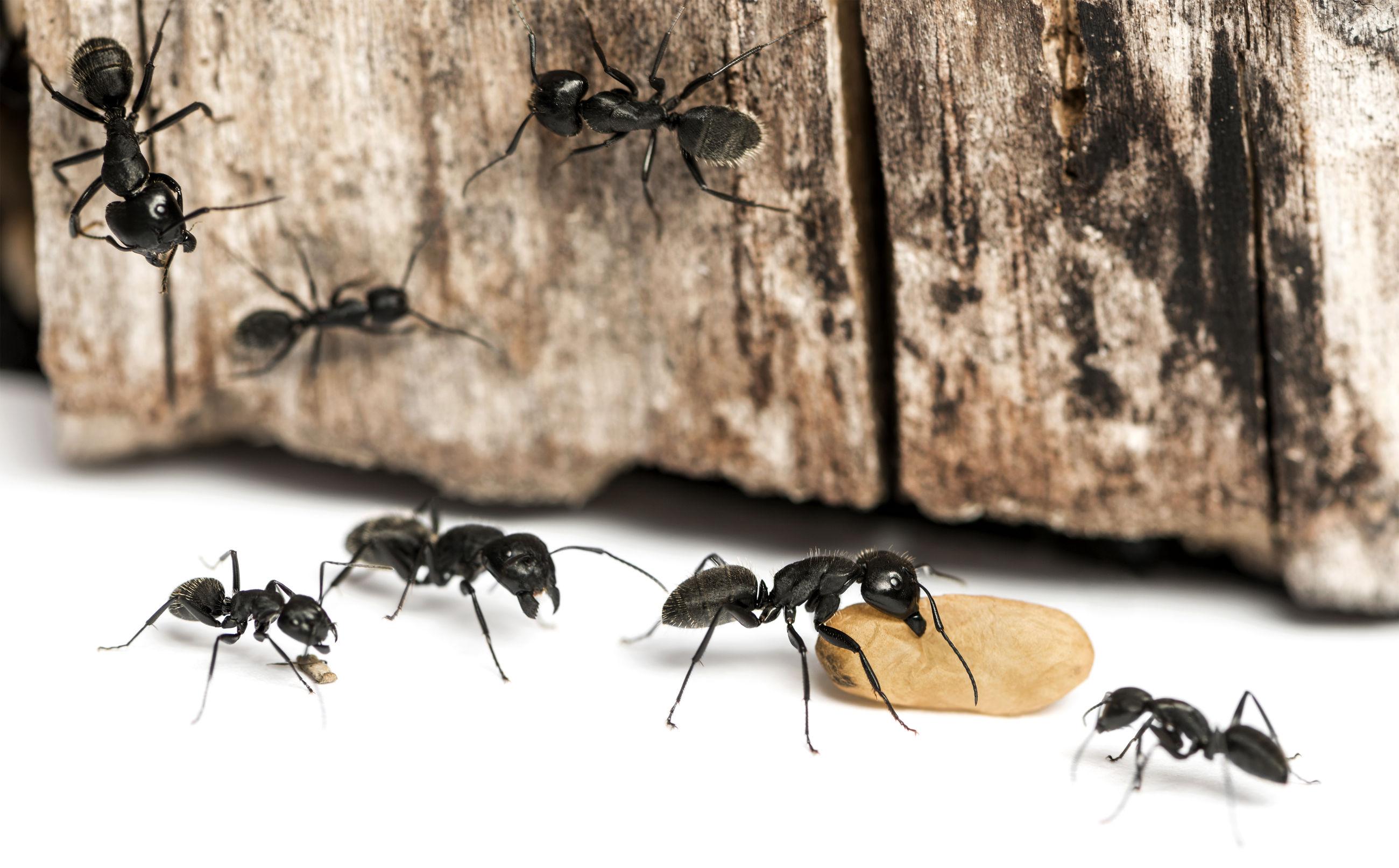 Plagas de hormigas en Madrid