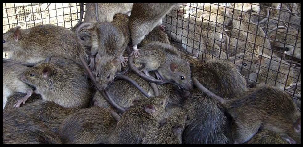 ratas, plaga, problema