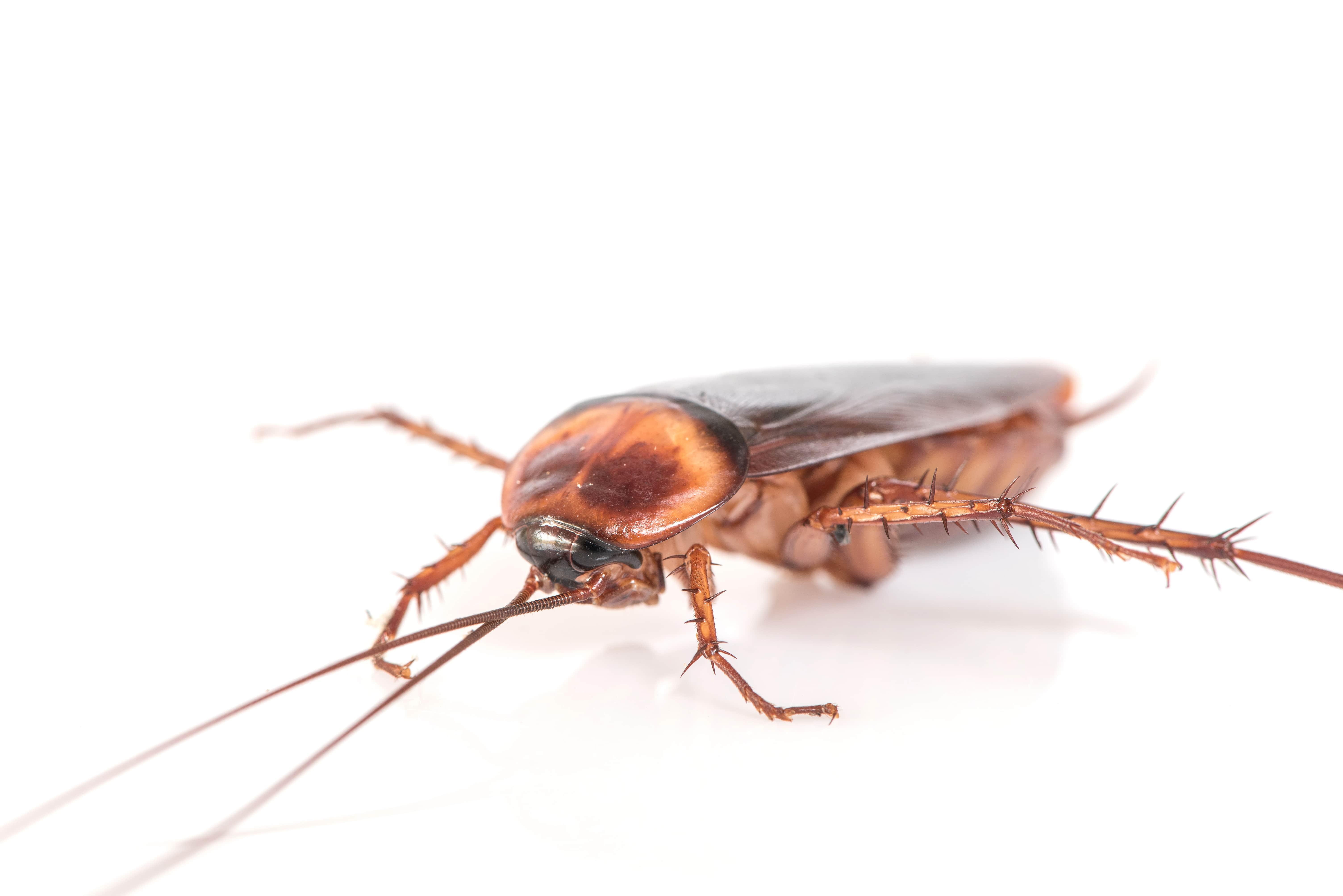 remedios caseros cucarachas