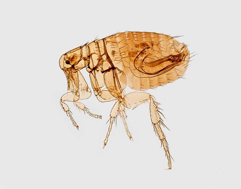 remedios caseros para pulgas